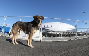 SOCHI, RUSSIA - FEBRUARY 03: A stray dog walks through Olympic Park ahead of the Sochi 2014 Winter Olympics on February 3, 2014 in Sochi, Russia.  (Photo by Bruce Bennett/Getty Images) ORG XMIT: 466979991